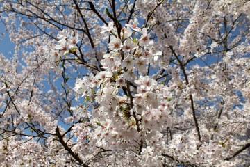 Fleurs de cerisier à Kyoto