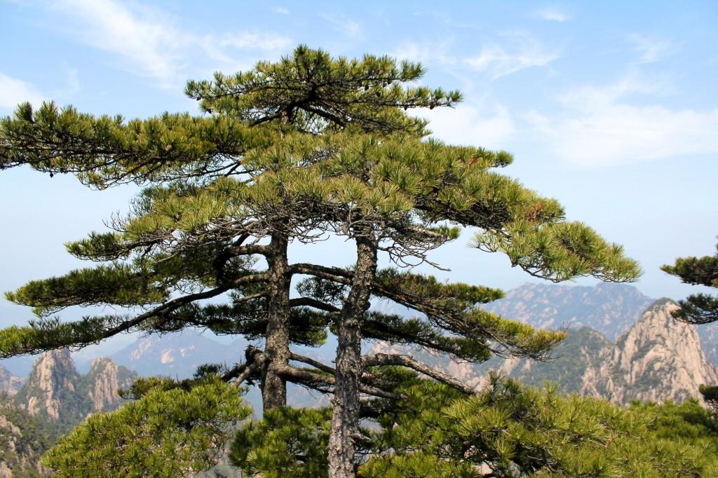 Un des pins célèbres du parc des Huang Shan